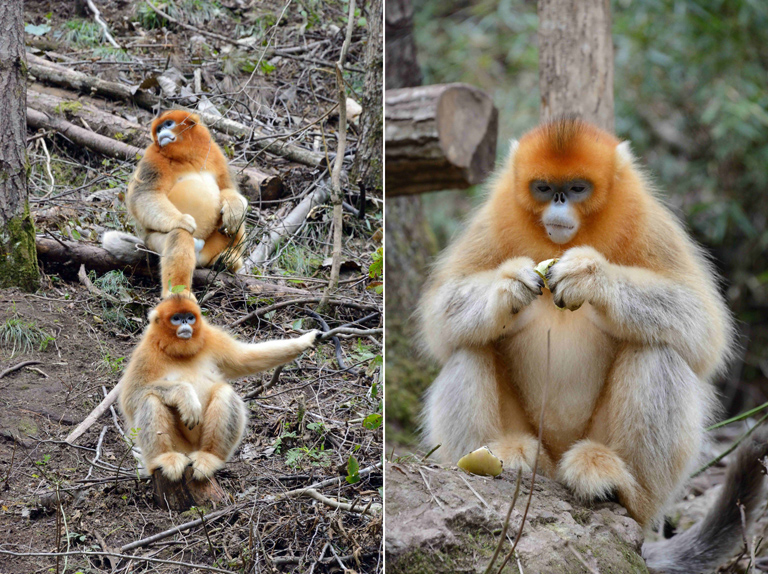 Golden monkey (Rhinopithecus roxellana qinlingensis), male and female resting, Shaanxi Province, China. Photo by Russ Mittermeier.