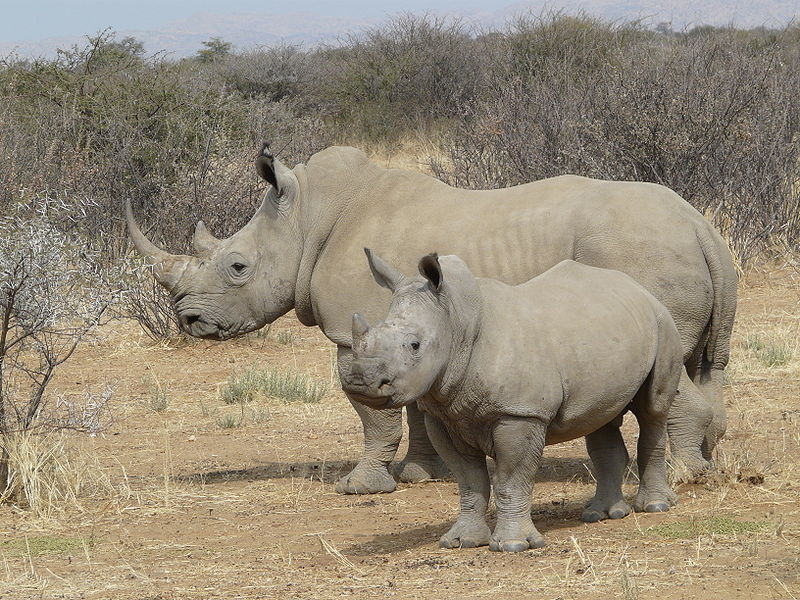 Recovery of the southern white rhino (Ceratotherium simum ssp. simum) is considered to be one of the biggest conservation success stories in recent times. Photo by Zigomar, Wikimedia Commons CC BY-SA 3.0