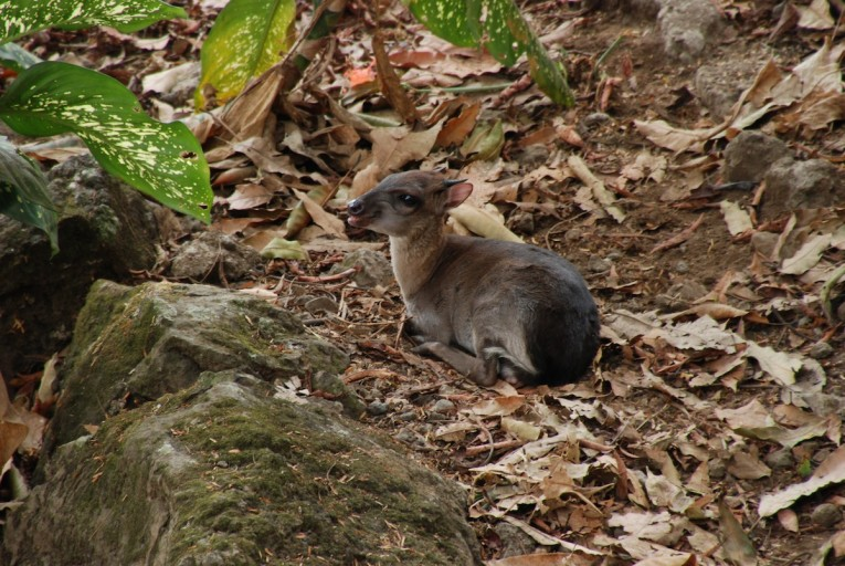 A duiker at Limbe Wildlife Centre. Photo by John C. Cannon.
