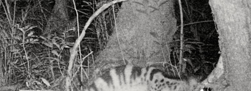 Laos could be the 'most important' home for the elusive Owston's civet