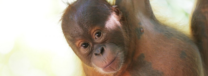 Study doubles the number of endangered Sumatran orangutans believed to exist