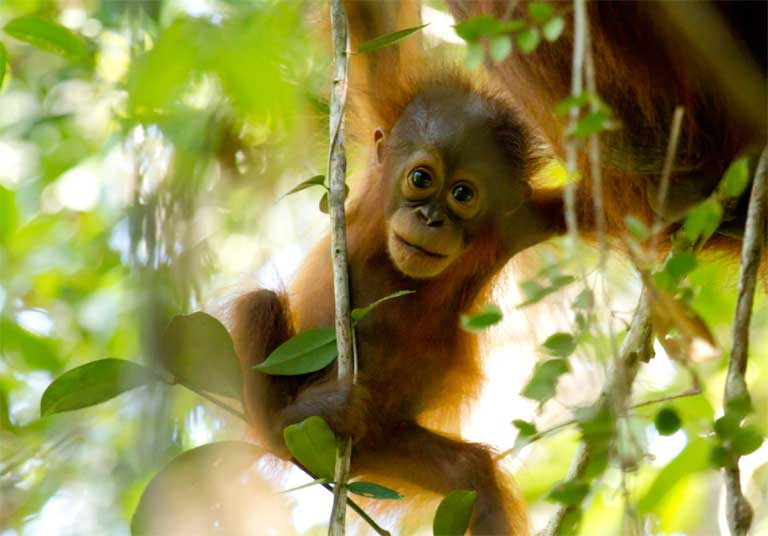 A Bornean Orangutan in  Sabangau Forest, Indonesia. Photo by Bernat Ripoll Capilla courtesy of OuTrop