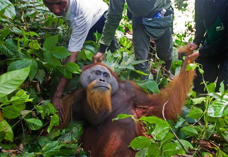 A large male orangutan is rescued and relocated after his home forest was destroyed for oil palm expansion in the Tripa peat swamp. Photo by Paul Hilton