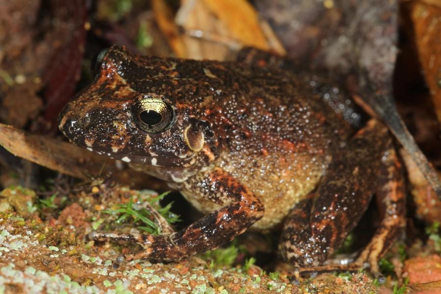 Madidi's new robber frog (Oreobates).  Photo by Mileniusz Spanowicz / WCS.