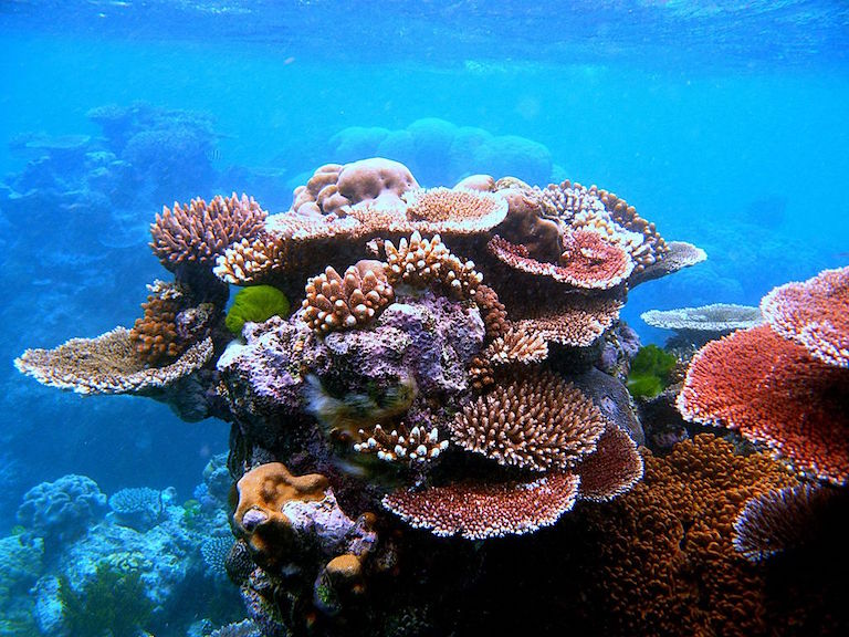 Corals in happier days before the current bleaching event on Flynn Reef, part of the Great Barrier Reef near Cairns in Queensland, Australia. Photo by Toby Hudson/Wikimedia commons.