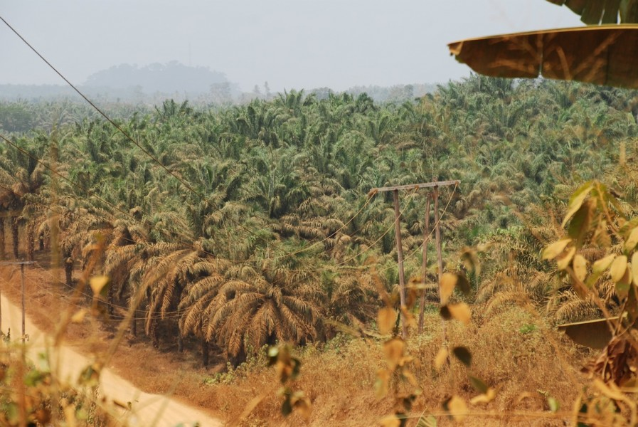 Decades-old Palmol oil palm plantation line the road between Mundemba and Kumba. Photo by John C. Cannon.
