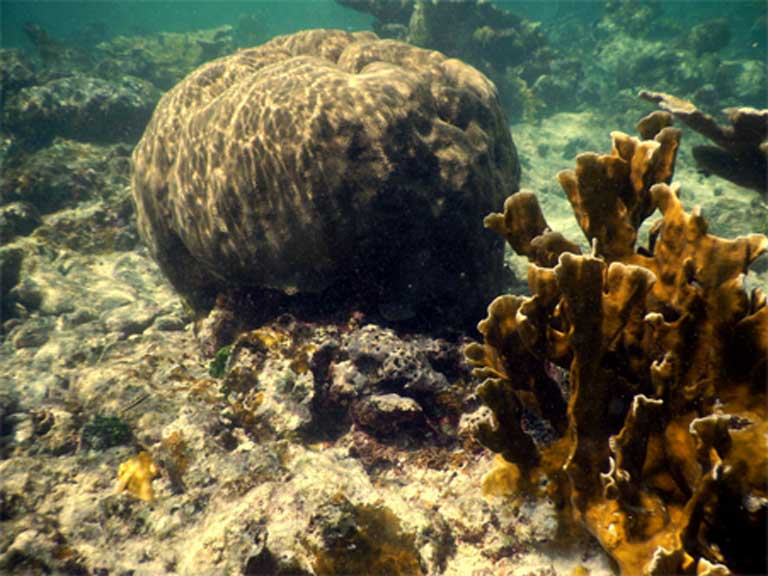 Giant brain coral and elkhorn coral on the Lighthouse Reef. Photo by Justin Catanoso