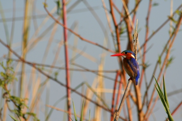 Malachite kingfisher (Alcedo cristata) in Chobe National Park, Botswana. Photo by Tiffany Roufs.