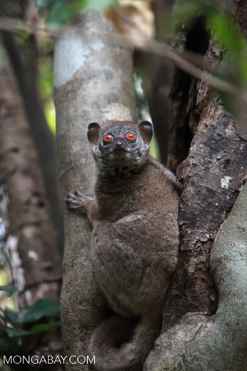 Northern sportive lemur (Lepilemur septentrionalis) in Madagascar. Photo by Rhett A. Butler.