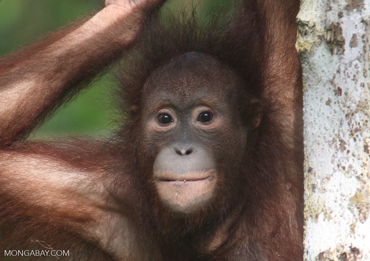 Orangutan in Malaysian Borneo. Photo by Rhett A. Butler.