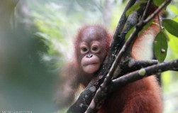 Indonesia mulls revision of orangutan conservation plan