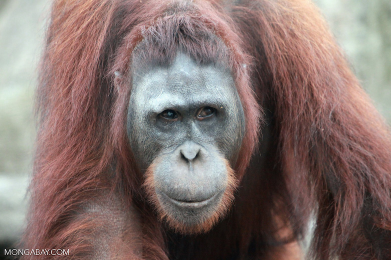 Bornean orangutan. Photo by Rhett A. Butler.