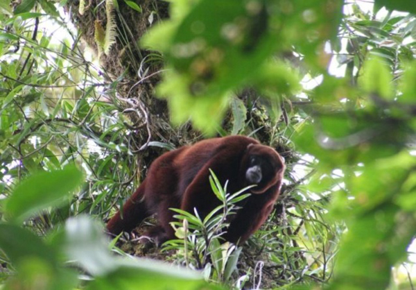 A male yellow-tailed woolly monkey (Lagothrix flavicauda) in northeastern Peru. Photo credit: Sam Shanee/Neotropical Primate Conservation.
