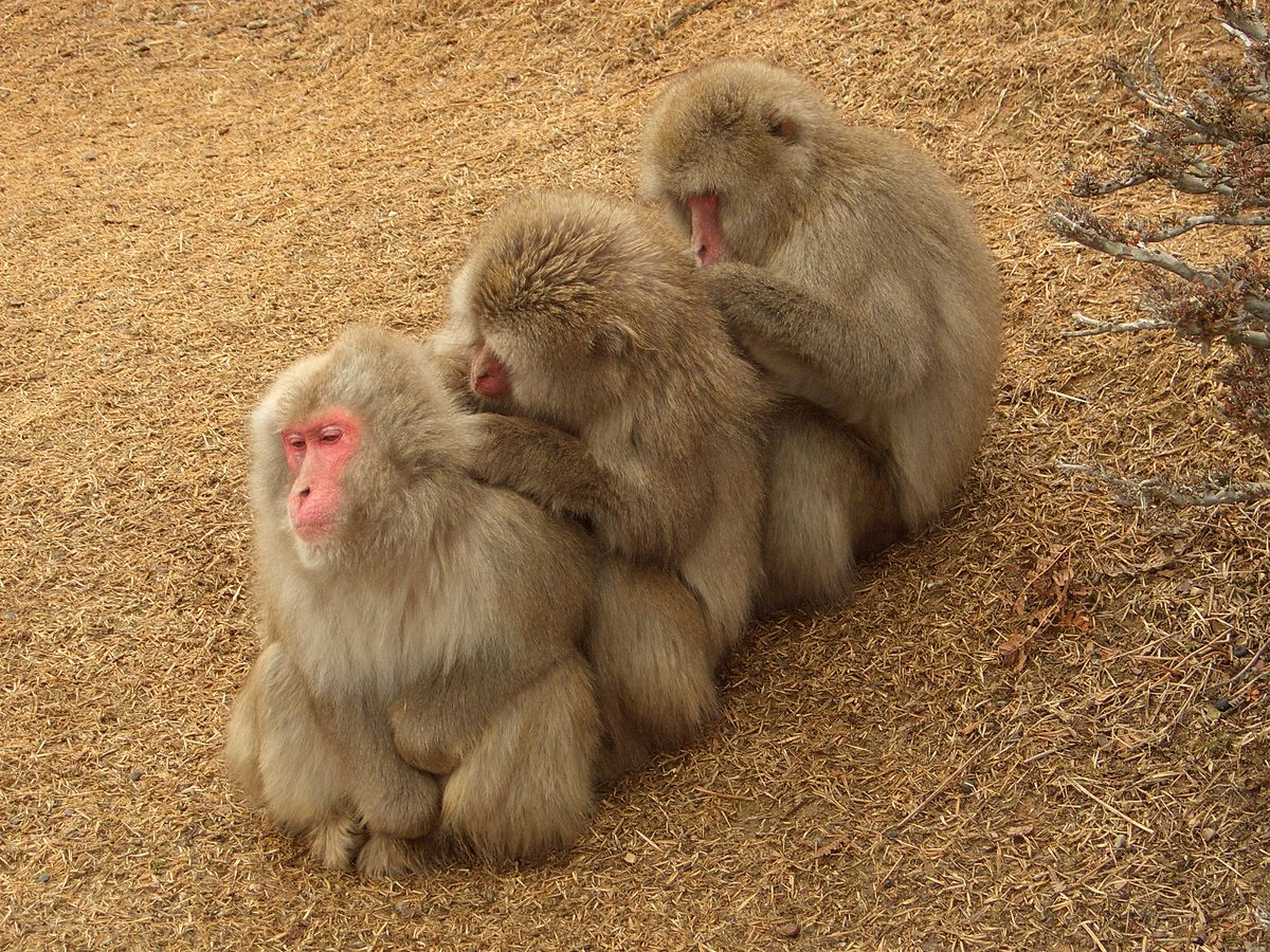 Japanese macaques (Macaca fuscata) grooming, Arashiyama Monkey Park, Kyoto, Japan. Photo by Noneotuho/Wikimedia Commons.