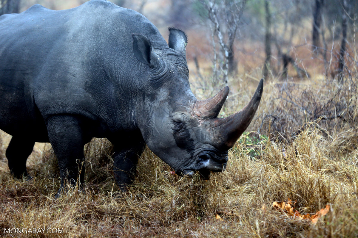 Southern white rhino (Ceratotherium simum simum) in Kruger National Park, South Africa. Photo by Rhett A. Butler.