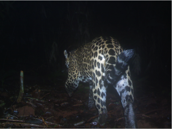 A jaguar as seen by one of the study's camera traps. Image courtesy of Courtesy of Panthera/GWC/MSU