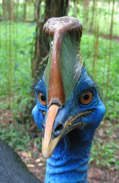 Face-to-face with the cassowary, a large flightless bird that can knock out a person with a single kick. Photo by Andy Mack