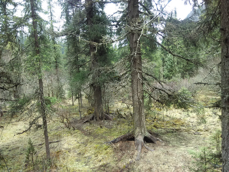 A well-protected virgin forest inside Wanglang reserve with some dragon spruce (Picea asperata), which can reach 700 years in age. Photo by Wang Yan.