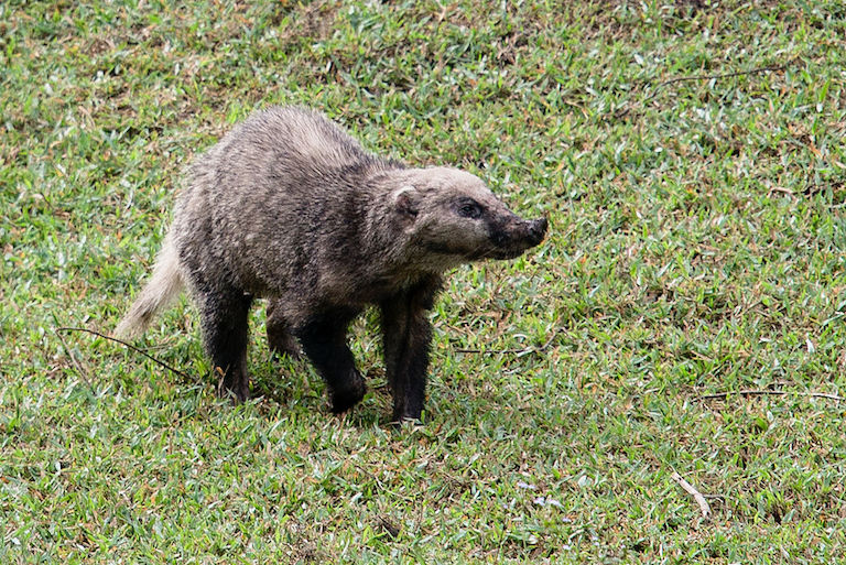 A hog-badger (Arctonyx collaris) in Thailand. Photo by Rushenb/Wikimedia Commons.