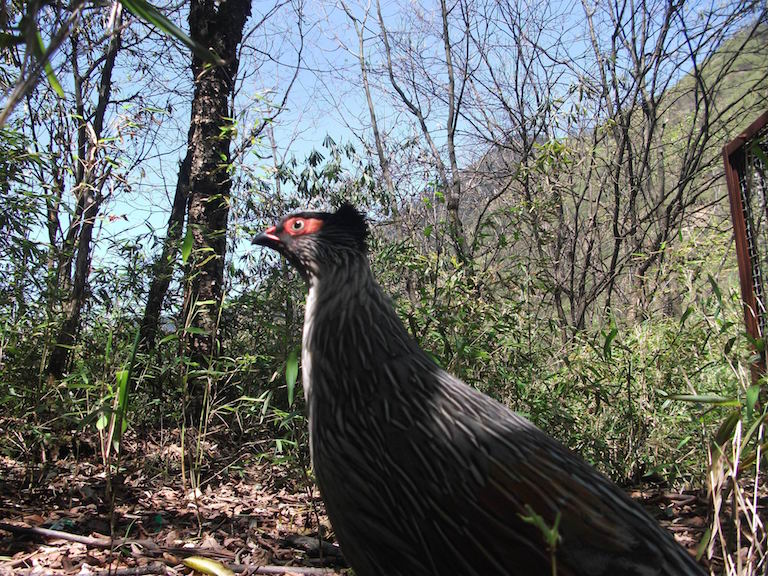Blood Pheasant (Ithaginis cruentus), caught by a camera trap, in Longxi-Hongkou National Nature Reserve. Photo courtesy of Dujiangyan Nature Protection Association.