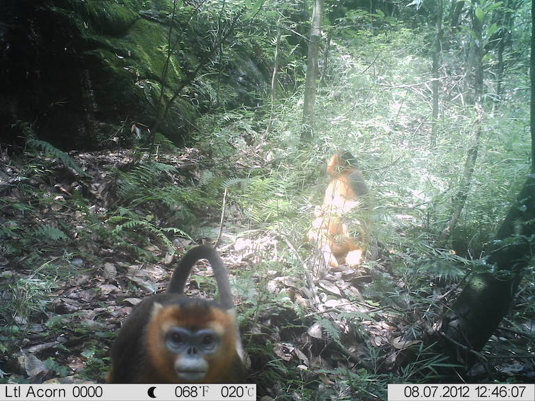 Golden snub-nosed monkeys caught on camera trap. Photo courtesy of Dujiangyan Nature Protection Association.