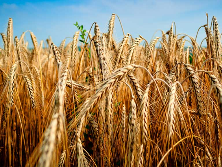 Wheat. Carbon dioxide promotes plant growth by boosting photosynthesis and carbohydrate production in the plant. But other nutrients don't keep pace with this increase, resulting in higher carbohydrate to protein ratios, and lower concentrations of minerals. These shifts in nutritional quality could have implications for human health around the world. Photo courtesy of Žarko Šušnjar on Flickr, under a CC BY-SA 2.0 license