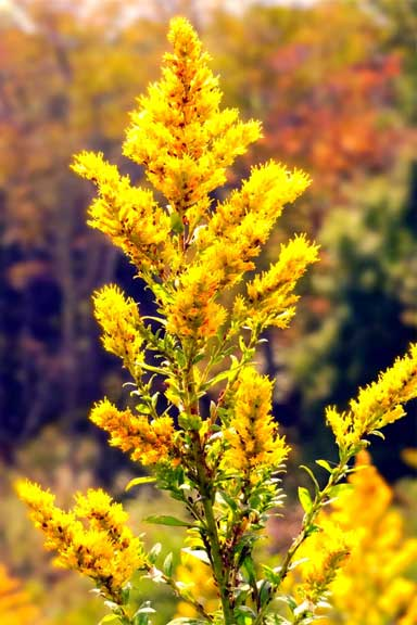 Goldenrod in Virginia, USA. This is an essential late season source of food for bees, but a recent study found that with rising carbon dioxide levels, the nutritional quality of its pollen is decreasing. This could affect bee survival over the winter. Pollinators such as bees play a crucial part in our food supply. Photo courtesy of Bridget Leyendecker on Flickr under a CC BY 2.0 license.