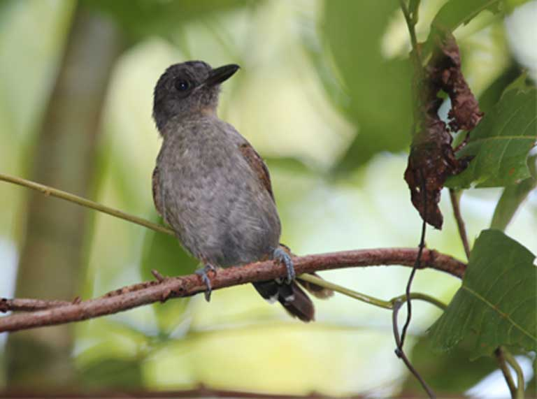 "A blackish-grey antshrike, one of many bird species that will lose valuable habitat due to dam construction. ""There are several subspecies of this bird restricted to river island and varzea forests which stand to lose a significant proportion of their global range due to permanent inundation,"" Lees, study author, told Mongabay. Photo © Alexander Lees."