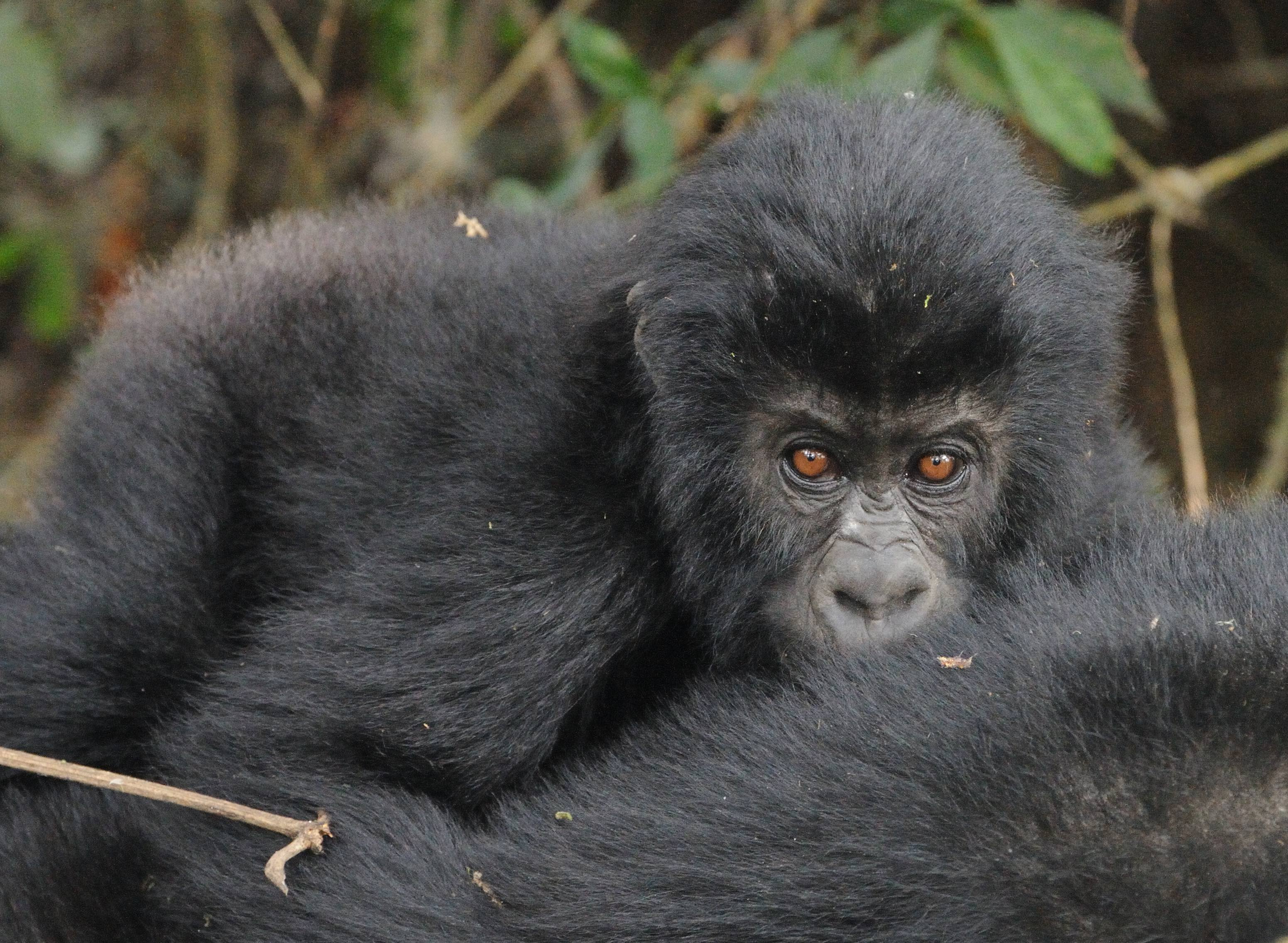 Reserve with rare gorillas finally protected