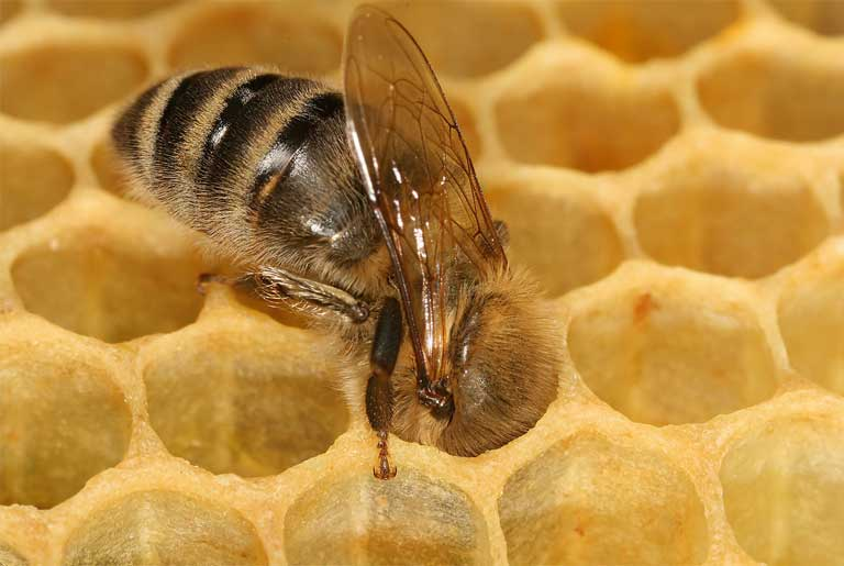 A worker bee in a honeycomb. The serious decline of protein in goldenrod, an important fall crop that sustains North American bees through the winter, could be harming these pollinators, but more study is needed to separate out this particular dietary stressor from other major stressors including chemical pesticide use. How CO2 levels are impacting other pollen-providing plants and pollinators around the world has not been studied. Photo by Richard Bartz, Munich Makro Freak & Beemaster Hubert Seibring licensed under the Creative Commons Attribution-Share Alike 2.5 Generic license