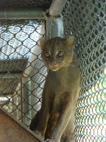 Captive jaguarundi photographed at the Chetumal Zoo in Mexico.