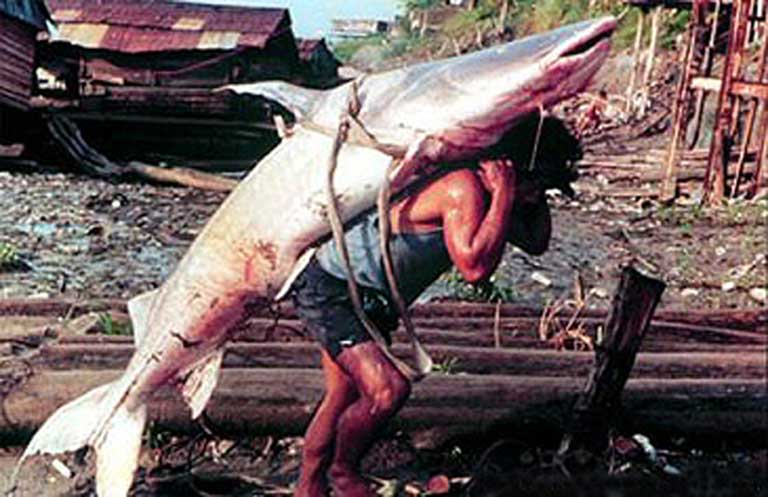 The giant Amazonian catfish is a valuable commercial species, an apex predator, and the world's long distance freshwater fish migration record holder. Photo courtesy of the USGS Columbia Environmental Research Center