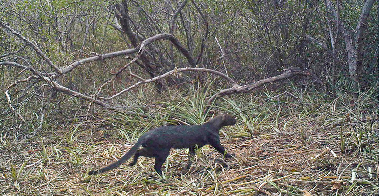 Jaguarundi crosses in front of a camera trap set up by Dr. Giordano in Chaco Defensores National Park, Paraguay.