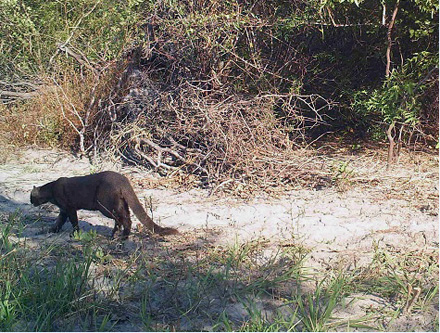 Jaguarundi crosses in front of a camera-trap on private land near the Gran Chaco of Paraguay, bordering Brazil.