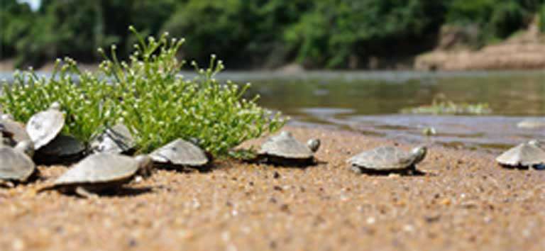 Young turtles make their way to the river. Decades of work means the Giant Amazon River Turtle is no longer Endangered, but poaching in particular remains a major threat to the species. Photo courtesy of Luiz Baptista