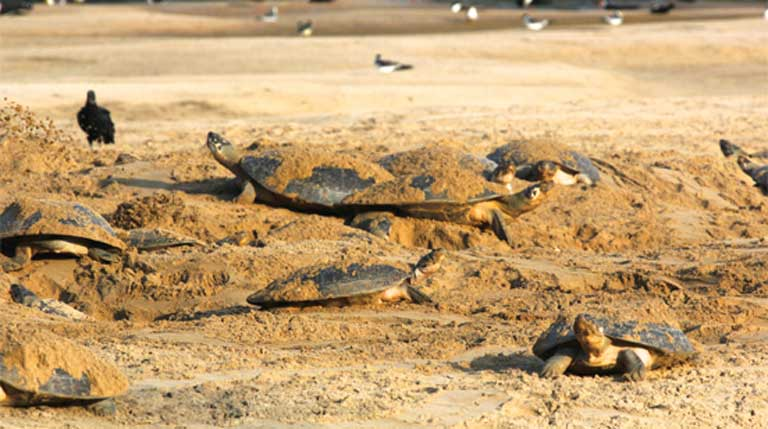 Giant Amazon River Turtles undergo mass migrations to their nesting beaches on riverbanks and exposed sandbars. This behavior makes them especially vulnerable to hunting pressure for both turtle meat and eggs. Photo courtesy of Camila Ferrara