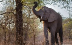 Massive relocation of 500 elephants begins in Malawi