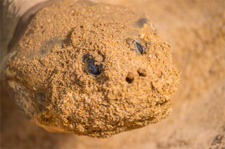 A turtle's sand-encrusted face after nest excavation. Amazon turtles are at risk from poaching, the proliferation of hydropower dams across Amazonia, and mercury contamination due to gold mining. Photo courtesy of Roberto Lacava