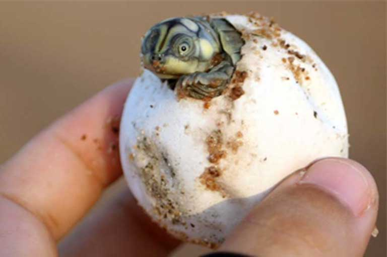 A turtle hatchling emerging from its egg. Recent research found that both mother and young use vocalizations to communicate, even before hatching occurs. Photo courtesy of Camila Ferrara