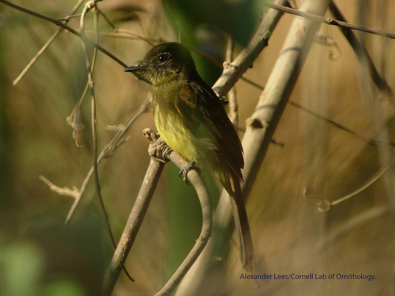 A Dusky-tailed Flatbill. Photo by AlexanderLees -Cornell Lab of Ornithology