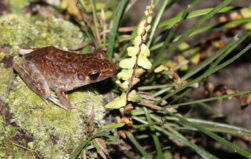 Replanting oil palm plantations reduces frog diversity, but researchers say there are ways to fix that