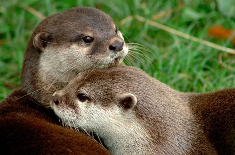 POLL: Should the illegal otter trade in India be stopped?