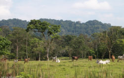 Cattle driving big forest loss in Peru's 'under-appreciated' Amazon