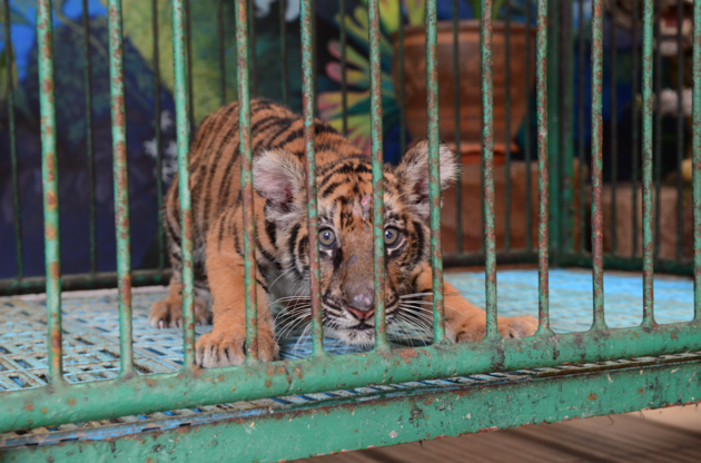 Around 830 tigers are estimated to occur in captivity in Thailand's tiger entertainment venues, the WAP team found, up from 623 tigers in 2010. Photo courtesy of World Animal Protection.