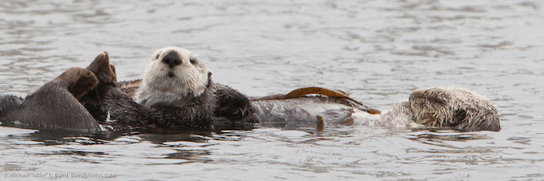 California sea otters resting in kelp. Photo by Mike Baird via Flickr (CC BY 2.0)