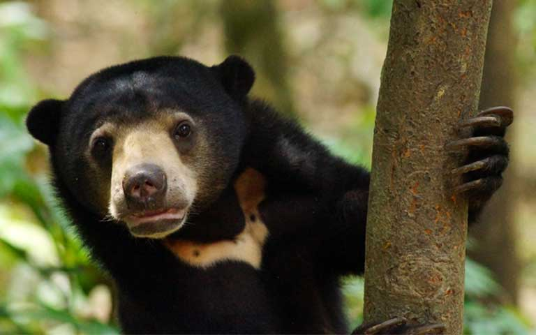 Sunbears are listed as Vulnerable to Extinction primarily due to habitat loss and illegal trade in bear bile. Their future depends on heightened public awareness, and better law enforcement to protect them against trafficking. Photo by Claire Asher