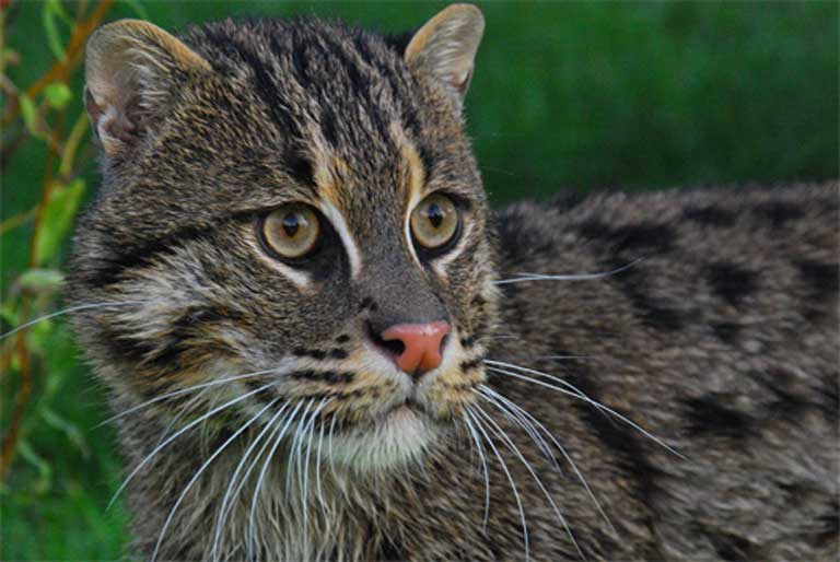A small cat with a big personality. Bringing this charismatic side of the Fishing cat to light is one way of ensuring it is protected in the future. Photo by Karen Povey