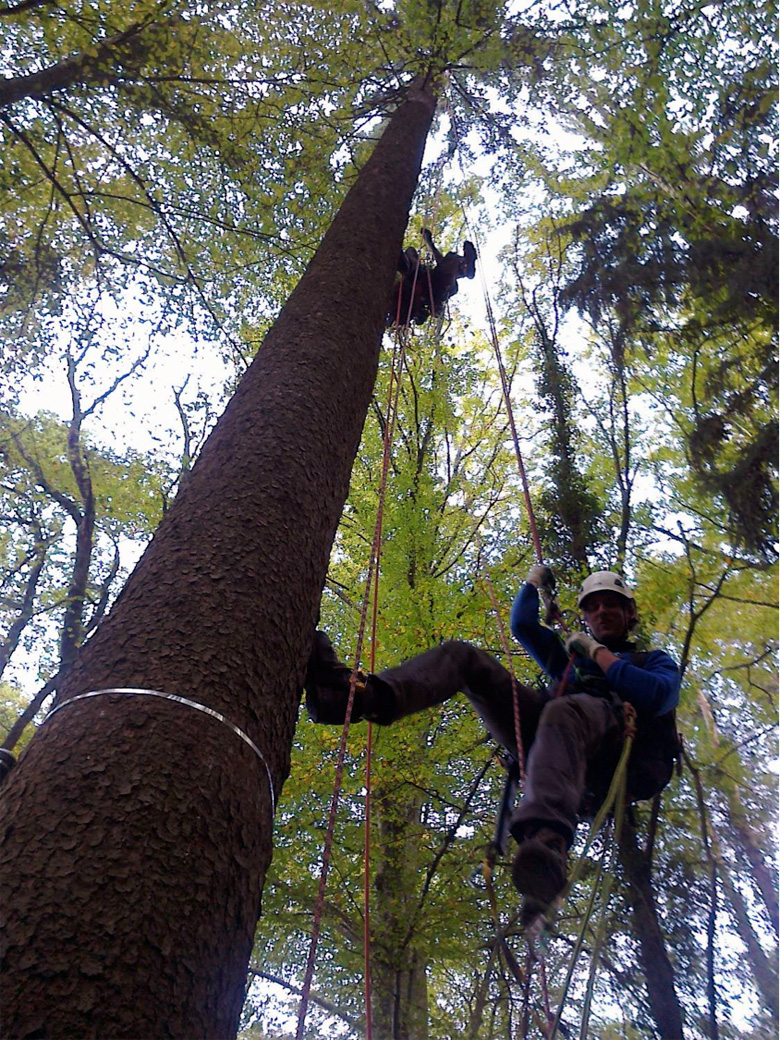 Professional tree climbers ascending one of the five control unlabelled Picea abies trees for sampling of canopy twigs beyond the reach of the crane jib. Photo courtesy of Christian Körner and Tamir Klein.