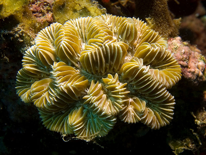 Coral is threatened by both warmer ocean temperatures and ocean acidification. Photo by Nhobgood Nick Hobgood licensed under the Creative Commons Attribution-Share Alike 3.0 Unported license