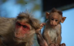 What wild monkeys can teach us about the origins of human language